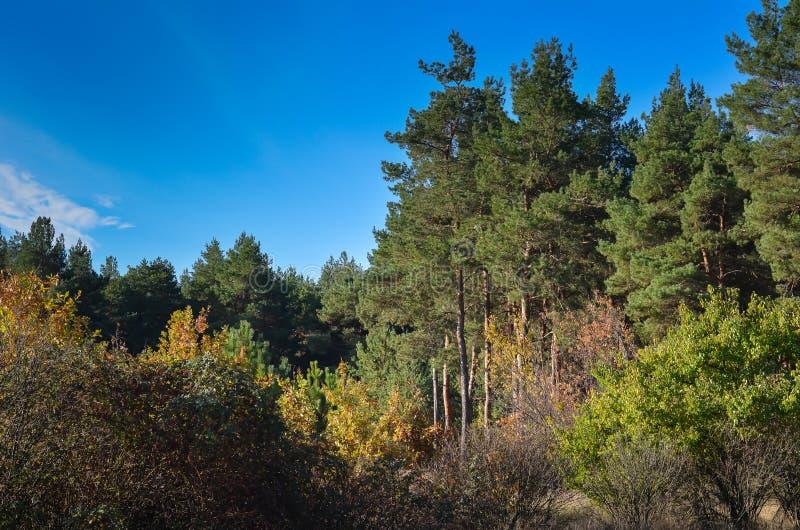 Floresta pinho-decíduo do outono bonito em um dia ensolarado de outubro Caminhada do país de domingo imagens de stock royalty free