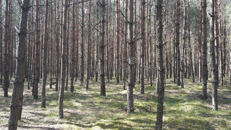 Floresta polonesa do pinho fotos de stock royalty free
