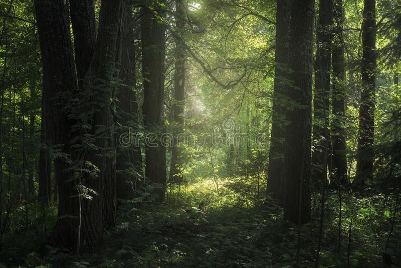 Floresta profunda e luz solar foto de stock royalty free