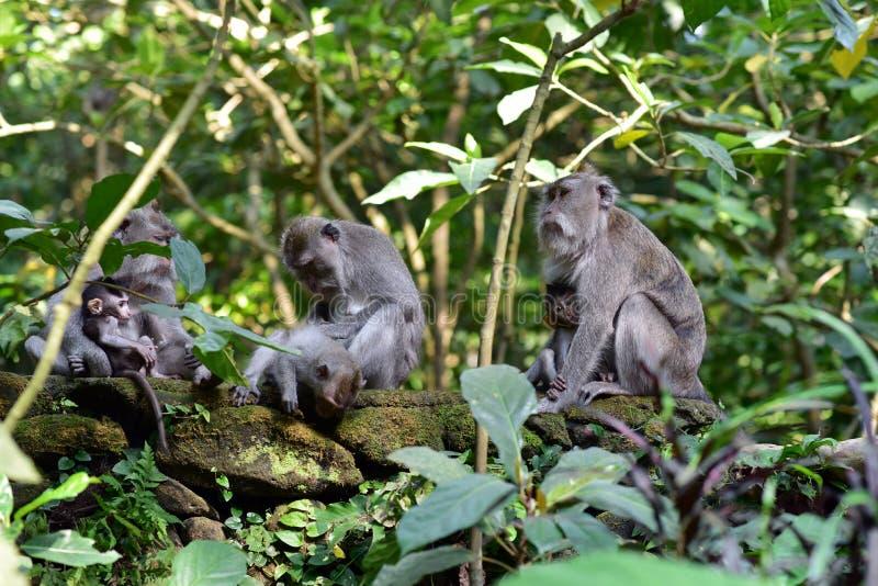 Floresta sagrado do macaco de Ubud, Indonésia imagens de stock