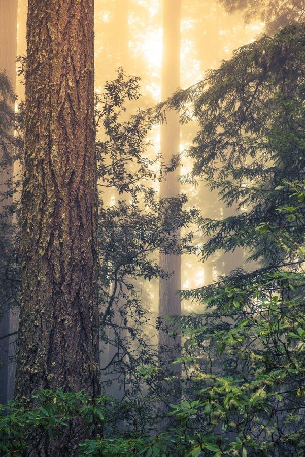 Floresta selvagem da sequoia vermelha imagem de stock royalty free