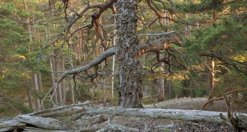Floresta sem tocar ensolarado do pinho em sweden fotografia de stock