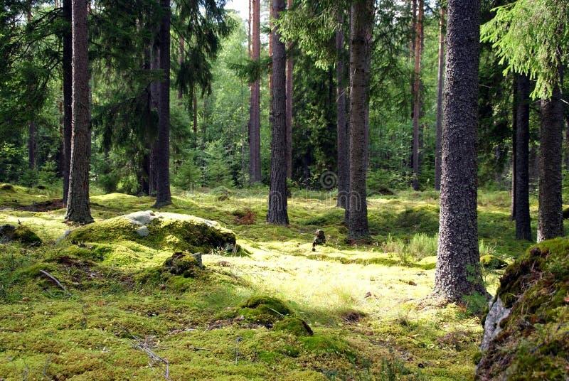 Floresta Spruce imagens de stock