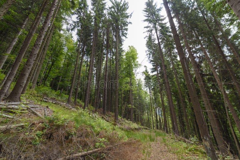 Floresta spruce alta fotografia de stock
