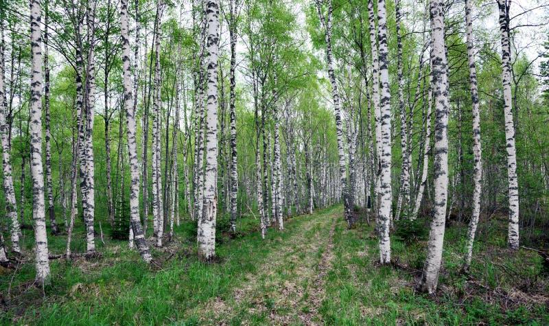 Floresta sueco do vidoeiro fotografia de stock
