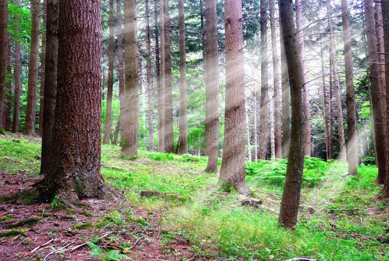 Floresta Sunlit fotografia de stock royalty free