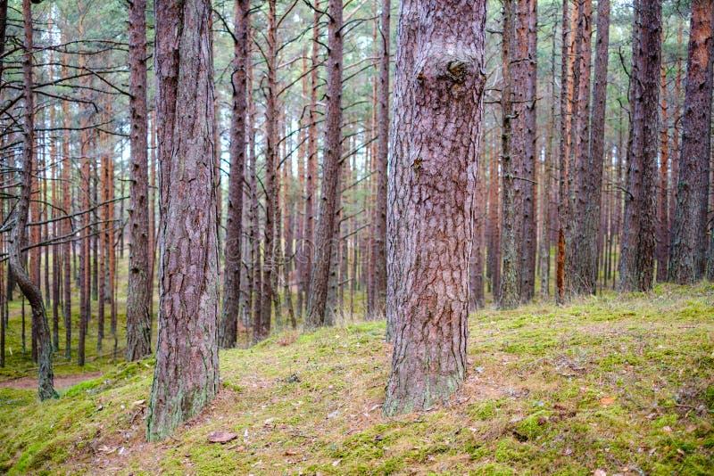 floresta vazia de pinheiros no final do outono fotografia de stock