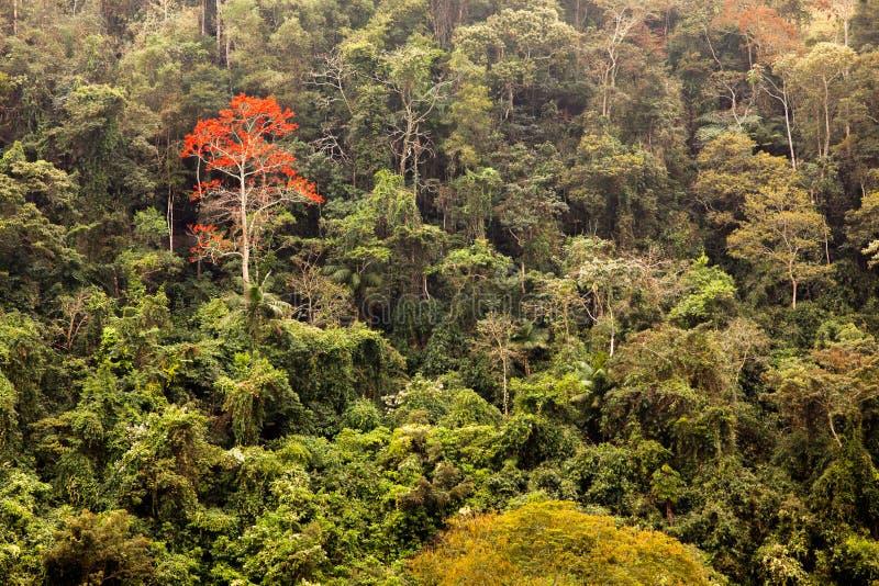 A floresta verde com um único vermelho floresce a árvore na floresta úmida brasileira imagem de stock