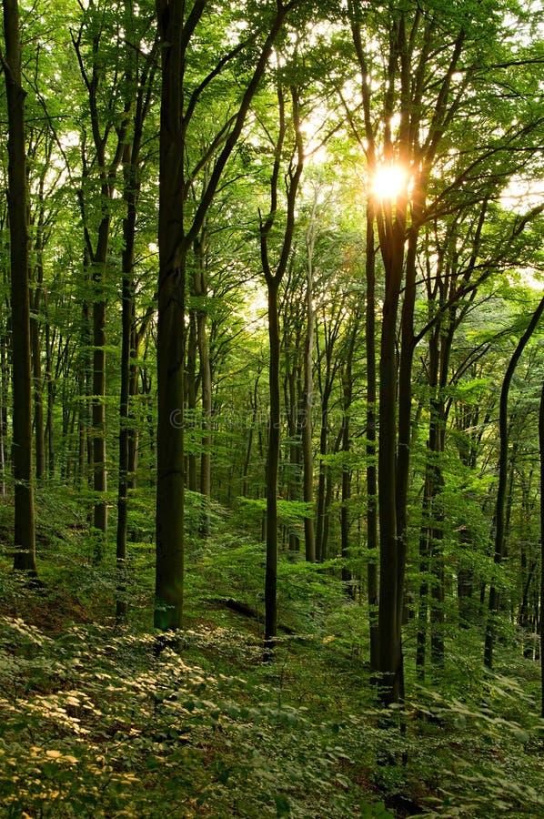 Floresta verde da faia fotos de stock