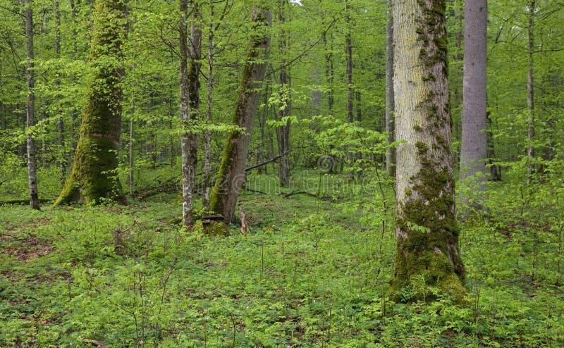 Floresta verde fresca de Bialowieza da primavera imagem de stock royalty free