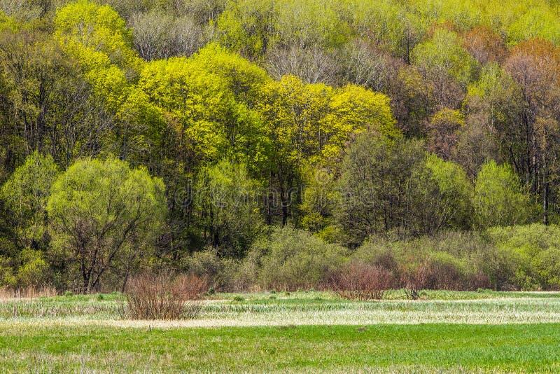 Floresta verde fresca na mola adiantada fotos de stock