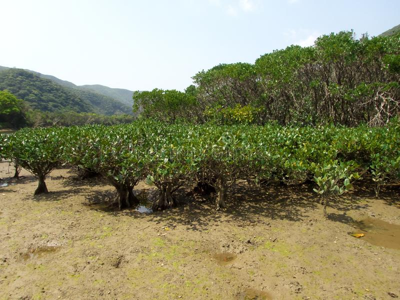 Floresta virgem dos manguezais no parque nacional de Amamigunto, Amami Oshima, Kagoshima, Japão foto de stock