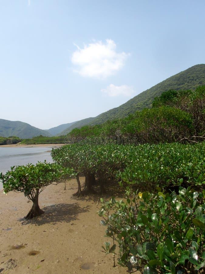 Floresta virgem dos manguezais no parque nacional de Amamigunto, Amami Oshima, Kagoshima, Japão imagem de stock