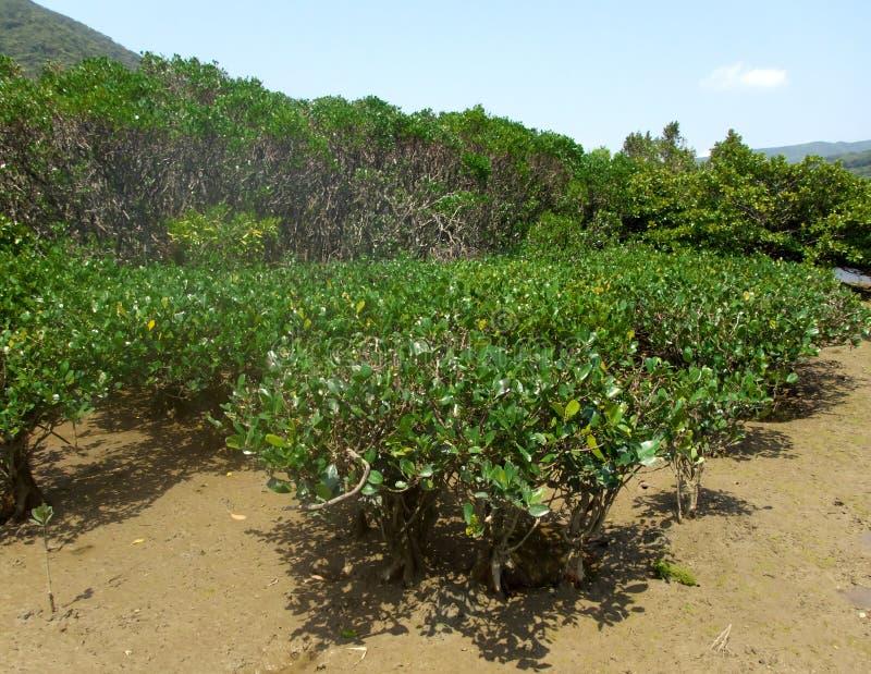 Floresta virgem dos manguezais no parque nacional de Amamigunto, Amami Oshima, Kagoshima, Japão imagens de stock