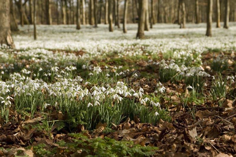 Florestas de Snowdrops foto de stock royalty free
