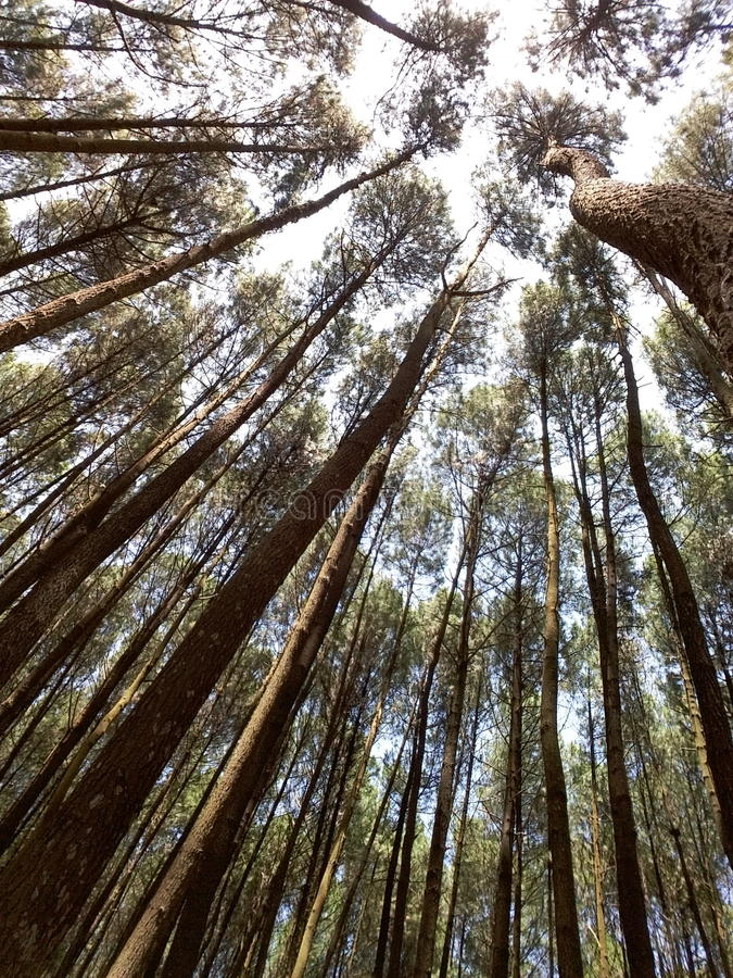 Florestas do pinho fotografia de stock royalty free