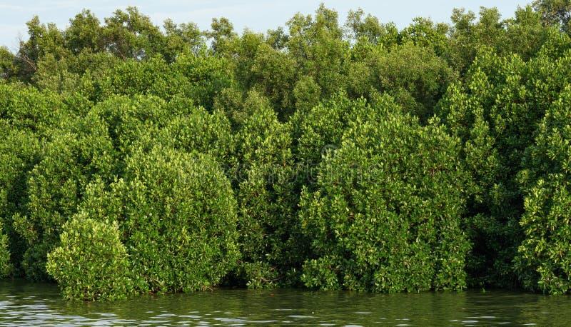 Florestas dos manguezais abundantes fotos de stock