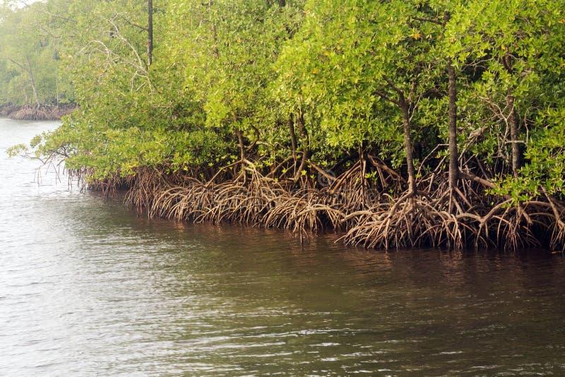 Florestas dos manguezais com rio e a árvore verde fotografia de stock