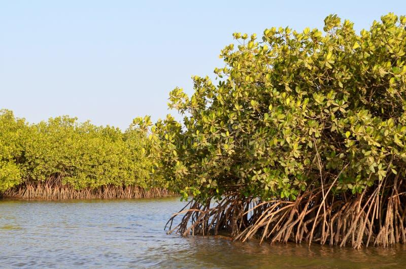 Florestas na área do delta do rio de Saloum, Senegal dos manguezais, África ocidental imagens de stock royalty free