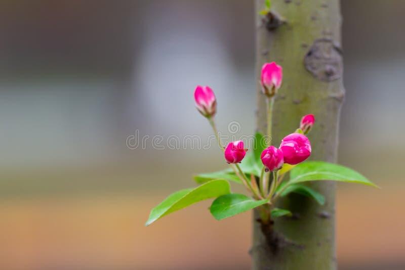 Floret das flores em um ramo na primavera, tiro macro imagens de stock