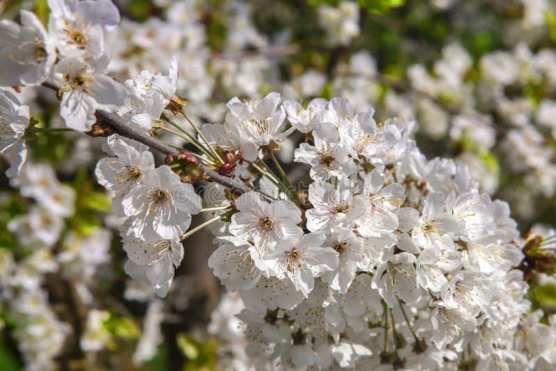 Floretes blancos de la cereza foto de archivo libre de regalías