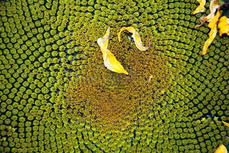 florets słonecznikowi dysków zdjęcia royalty free