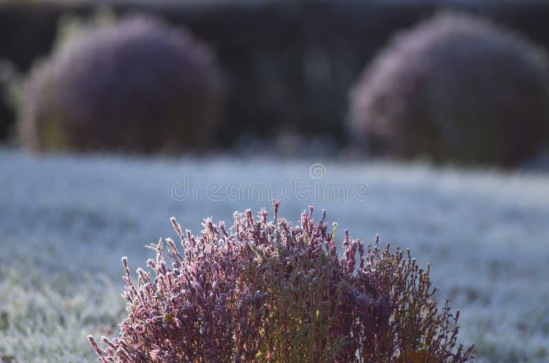 Florets w hoarfrost zdjęcia royalty free
