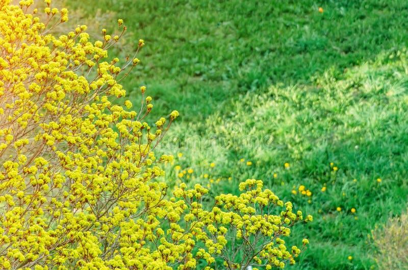 Florezca el arce de florecimiento en un fondo del prado joven verde de la hierba y de dientes de león florecientes foto de archivo