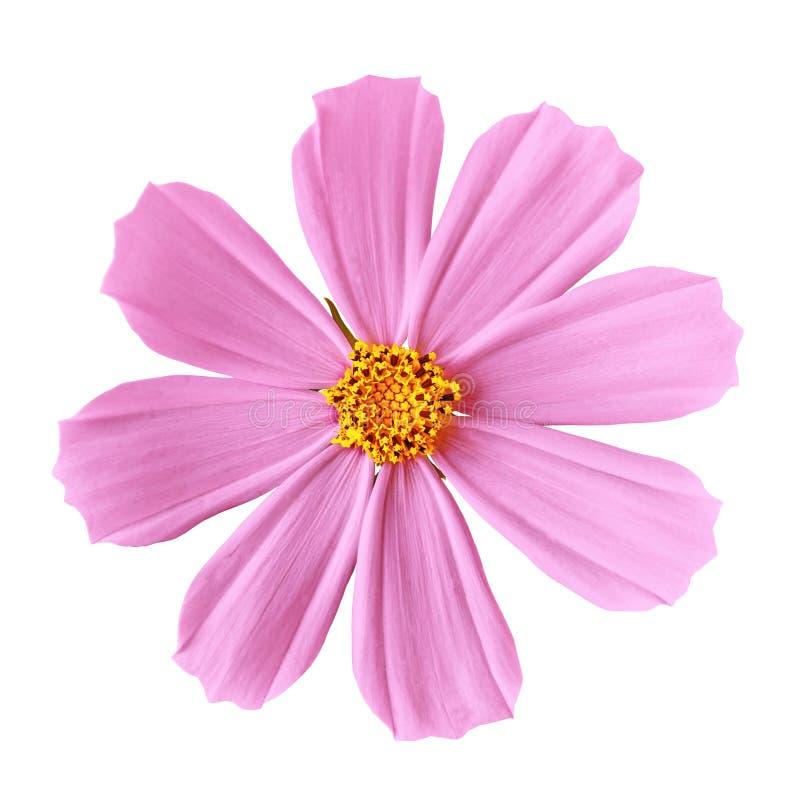 Florezca el aster mexicano del cosmos amarillo rosado, aislado en un fondo blanco Primer fotografía de archivo