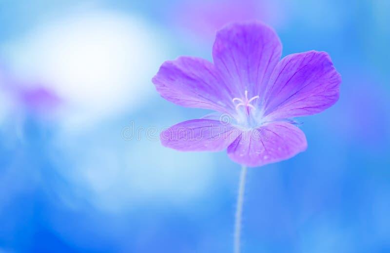 Florezca el color violeta del geranio en un fondo pintado azul Foco selectivo suave imagenes de archivo