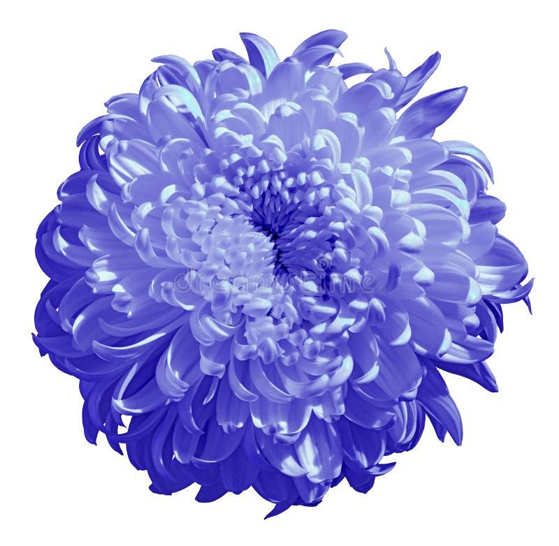 Florezca el crisantemo azul del bígaro aislado en el fondo blanco Cierre del brote de flor para arriba fotos de archivo libres de regalías