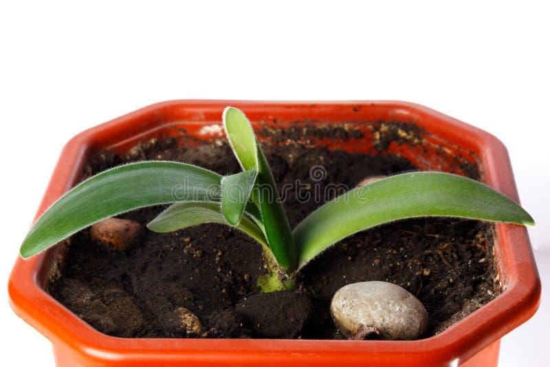Florezca el haemanthus en un pote en un fondo blanco aislado imagen de archivo libre de regalías