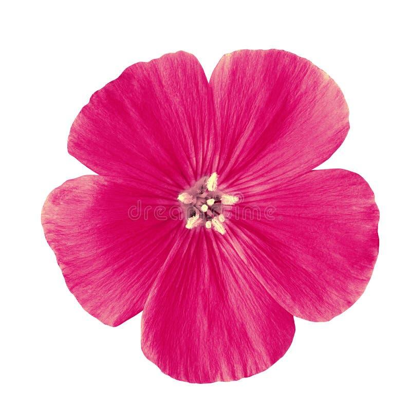 Florezca el lino rojo del amaranto aislado en el fondo blanco Cierre del brote de flor para arriba imagen de archivo libre de regalías