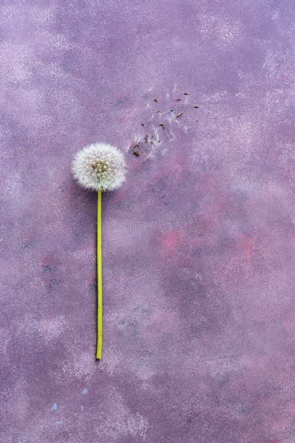 Florezca el minimalismo, diente de león con las semillas en un fondo abstracto hermoso Visión superior, espacio para el texto fon foto de archivo libre de regalías