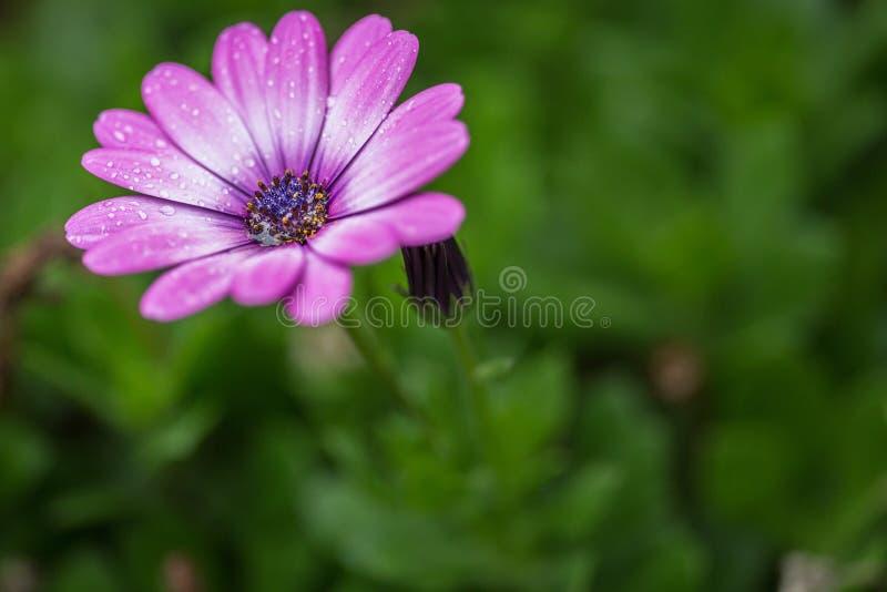 Florezca en un día lluvioso con las gotas de lluvia que se aferran en los pétalos de la flor fotografía de archivo