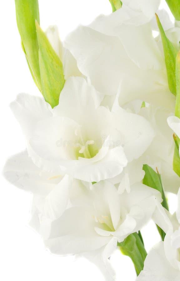 Florezca en un fondo blanco, lanzamiento del estudio. imagen de archivo libre de regalías