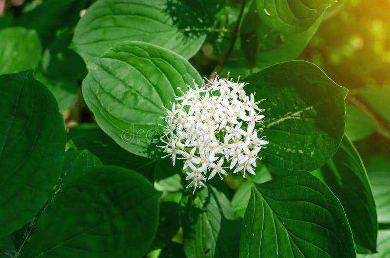 Florezca la baya del saúco del paraguas de la inflorescencia, arbusto verde en bosque imagen de archivo