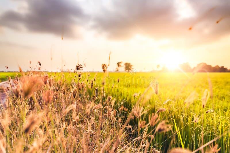 Florezca la hierba cerca del campo entre los tiempos de oro de la hora fotografía de archivo