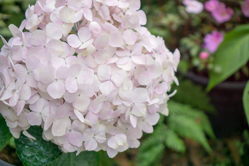 Florezca la magnolia que florece contra un fondo de flores fotografía de archivo