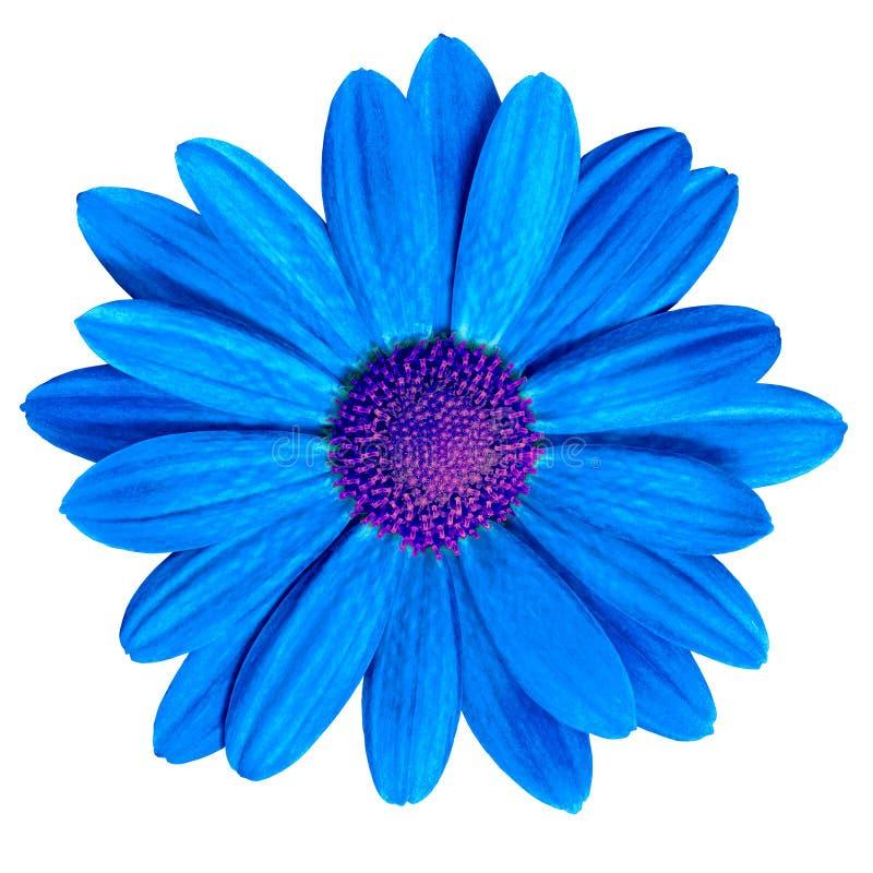Florezca la margarita púrpura del azul real aislada en el fondo blanco Primer foto de archivo