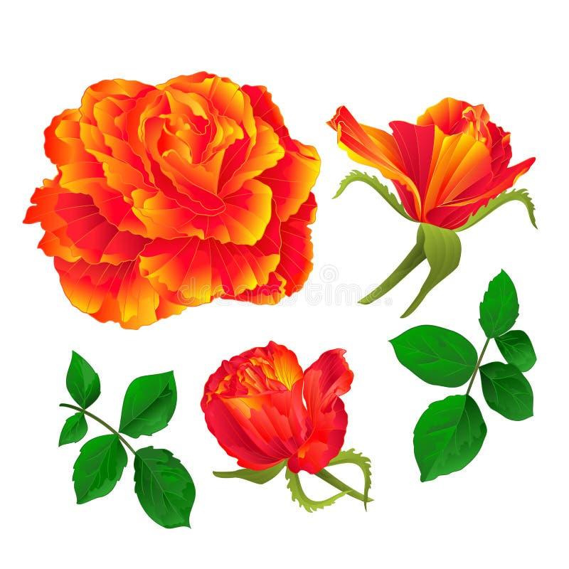 Florezca la naranja color de rosa y florece el vintage en un primer ejemplo fijado el fondo blanco del vector editable libre illustration