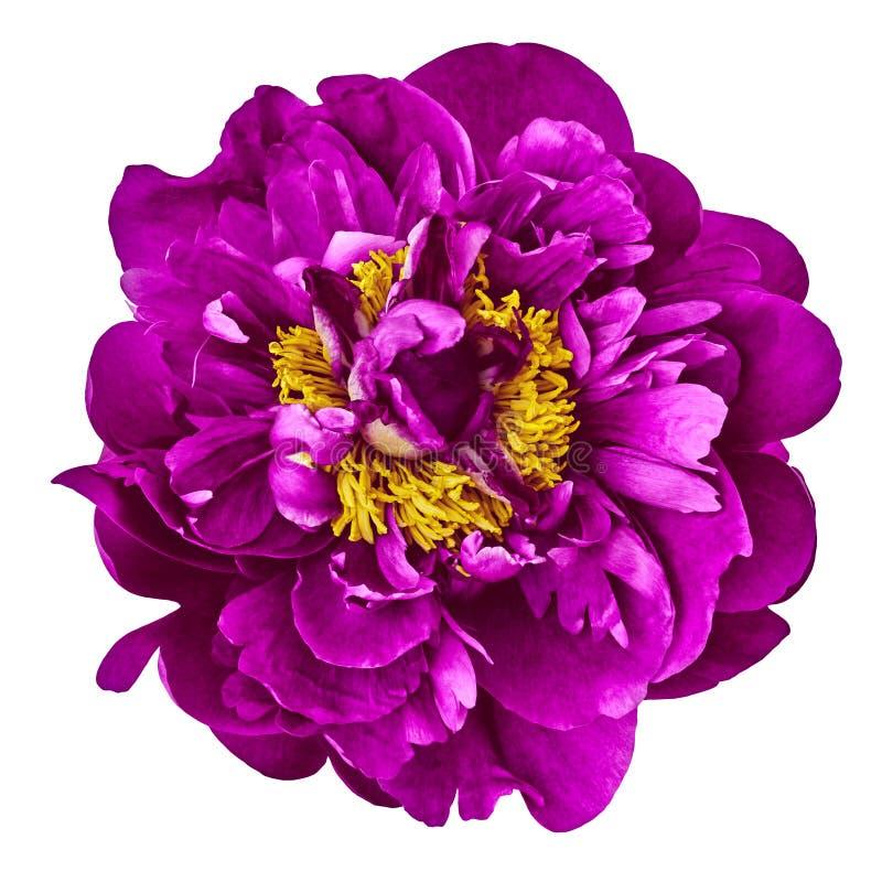 Florezca la peonía amarilla púrpura, aislada en un fondo blanco Primer imágenes de archivo libres de regalías