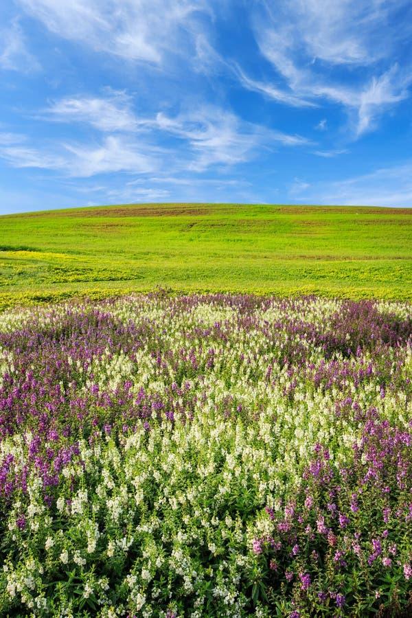 Florezca la plantación, la colina de la hierba verde y el cielo azul brillante fotos de archivo libres de regalías