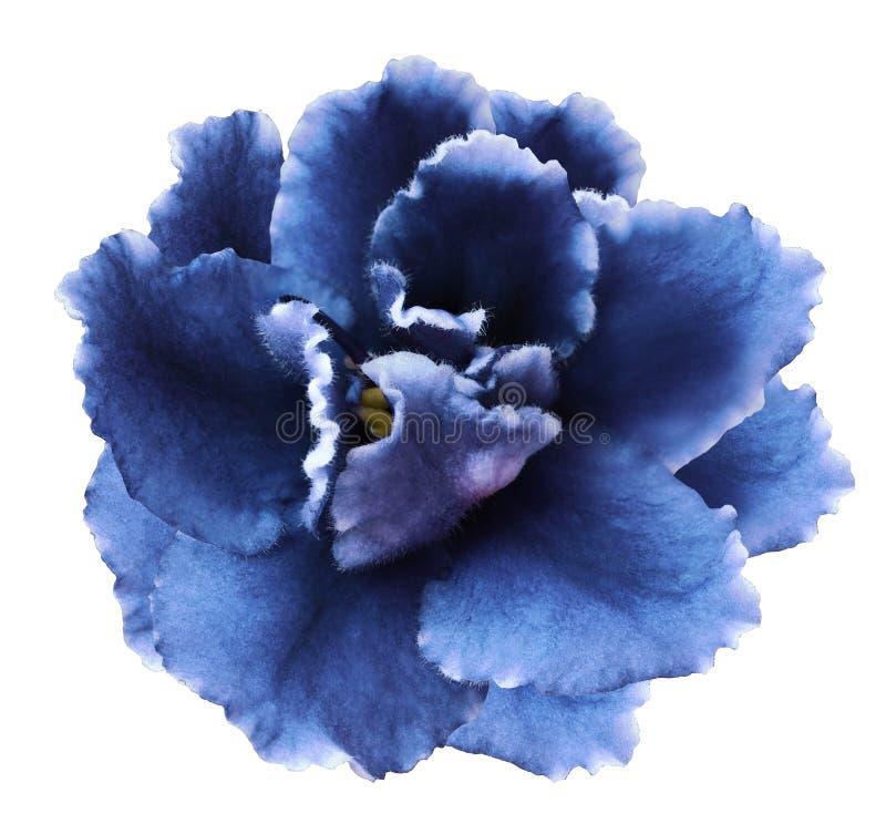 Florezca las violetas azules en un fondo aislado blanco con la trayectoria de recortes ningunas sombras Primer para el diseño imagenes de archivo