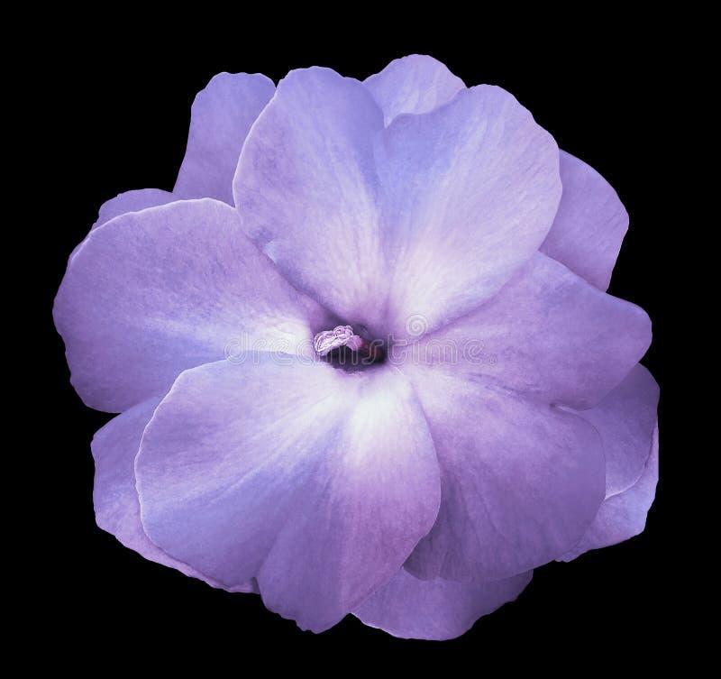 Florezca las violetas púrpura-azules en el fondo aislado negro con la trayectoria de recortes ningunas sombras Primer para el dis imagen de archivo