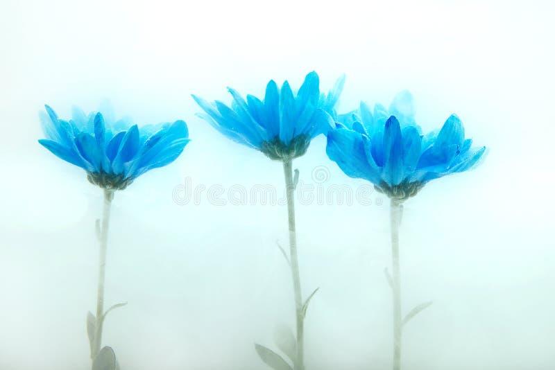 Florezca los crisantemos blancos del aster del fondo azul del agua dentro debajo de las pinturas de acrílico fotos de archivo