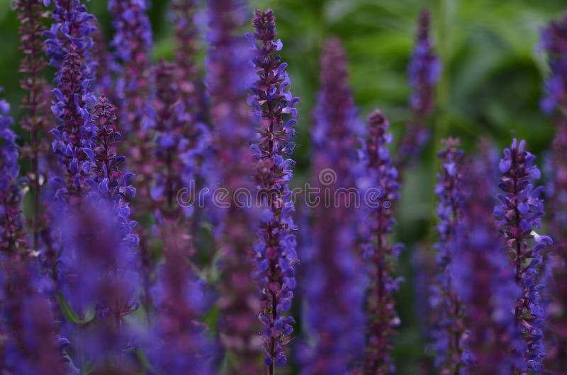 Floria pourpre photographie stock libre de droits