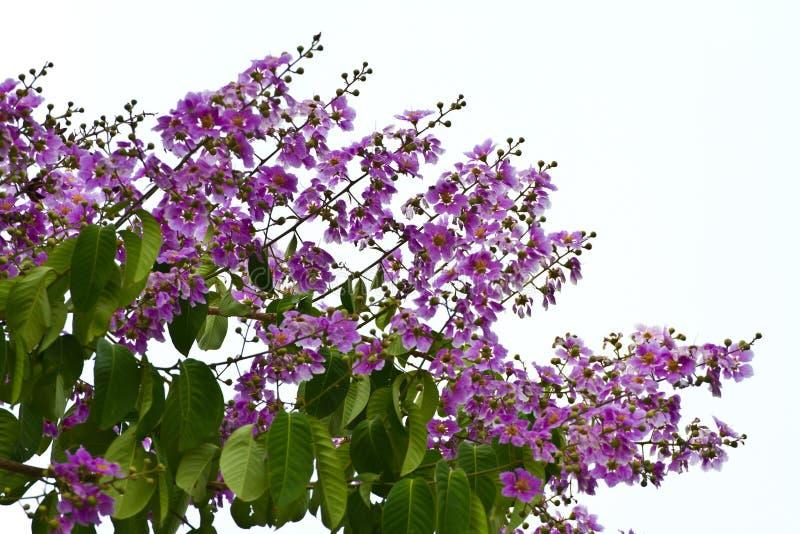 Floribunda de Lagerstroemia, fleur de Cananga image stock
