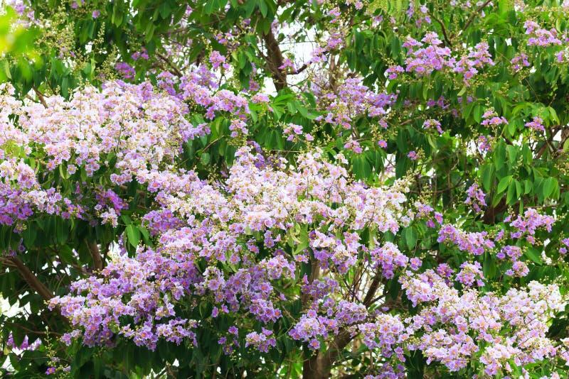 Floribunda Lagerstroemia ή επίσης γνωστός ως ταϊλανδικό myrtle υφάσματος κρεπ στοκ εικόνα με δικαίωμα ελεύθερης χρήσης