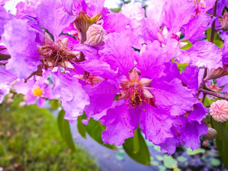 Floribunda Lagerstroemia στοκ φωτογραφίες